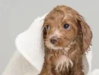 cucciolo di cane dopo il bagno