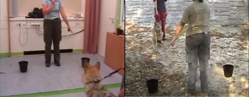 Il cane cozza Esperimento del pointing sui cani e lupi