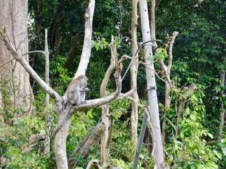 Affen Unterwegs Langkawi Malaysia