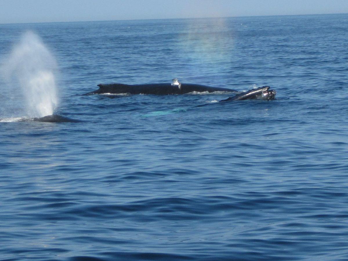Ballenas en Cape Cod