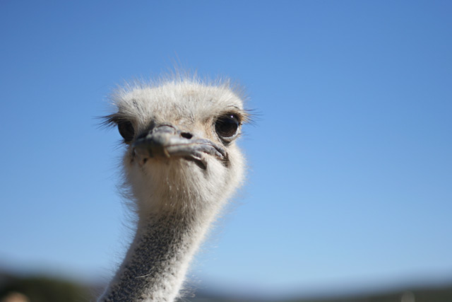 strut, ostrich