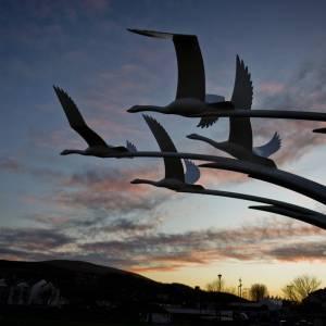 Ballycastle Swans - Photo by Alex Leonard