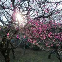 早めに咲いた梅の花