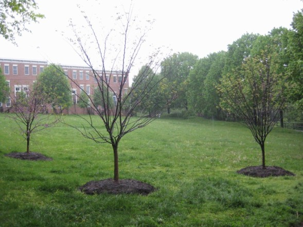 Beautiful rosebud trees planted for Alexander