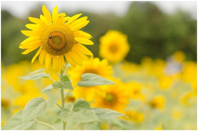 Alexandra Michelle Photography- Burnside Sunflower Farm-34