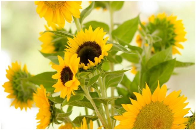Alexandra Michelle Photography- Burnside Sunflower Farm-4