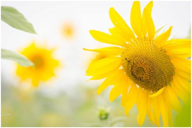 Alexandra Michelle Photography- Burnside Sunflower Farm-55