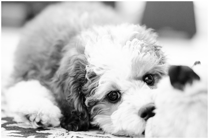 Alexandra Michelle Photography - Lucy the Bernadoodle-1
