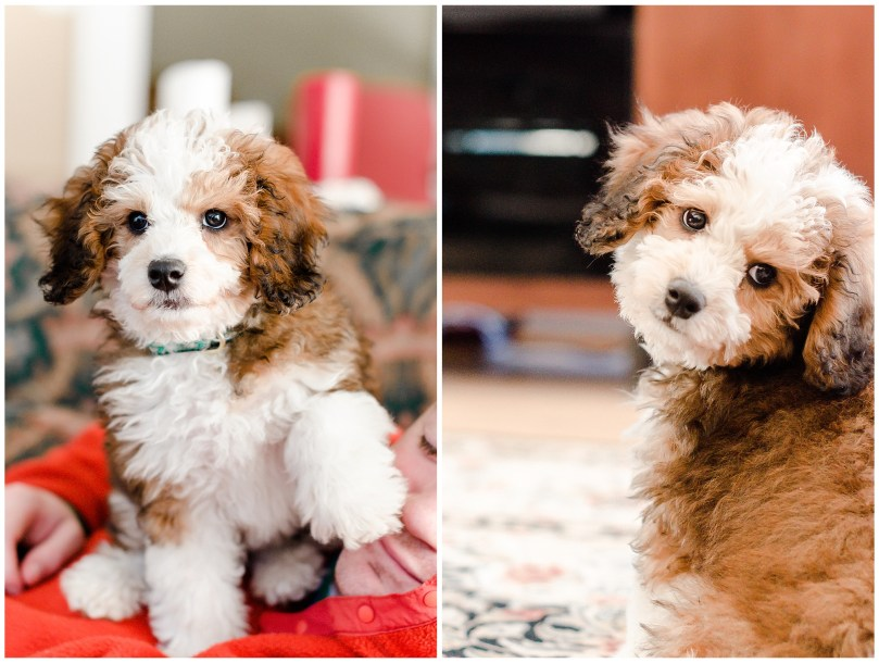 Alexandra Michelle Photography - Lucy the Bernadoodle-12