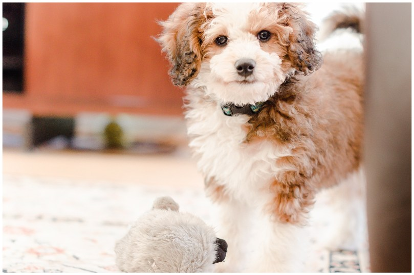 Alexandra Michelle Photography - Lucy the Bernadoodle-4