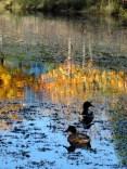 impressionist-ducks
