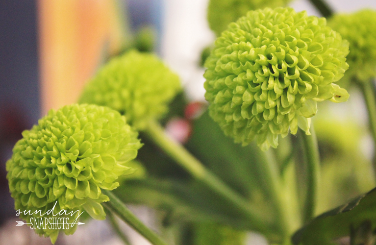Sunday Snapshots, button mums from Vaillant Florist Thunder Bay | Alex Inspired
