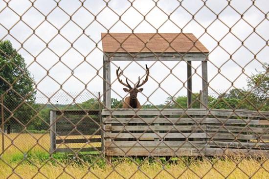 Missouri Town 1855 - Elk