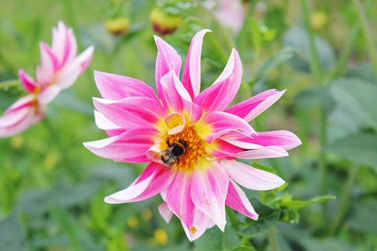 A French Countryside Birthday - Bee on flower