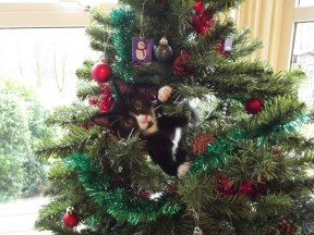 Black adn white kitten up a Christmas tree