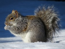 A grey squirrel in -35ºC in Montreal. Traditional territory of the Mohawk.