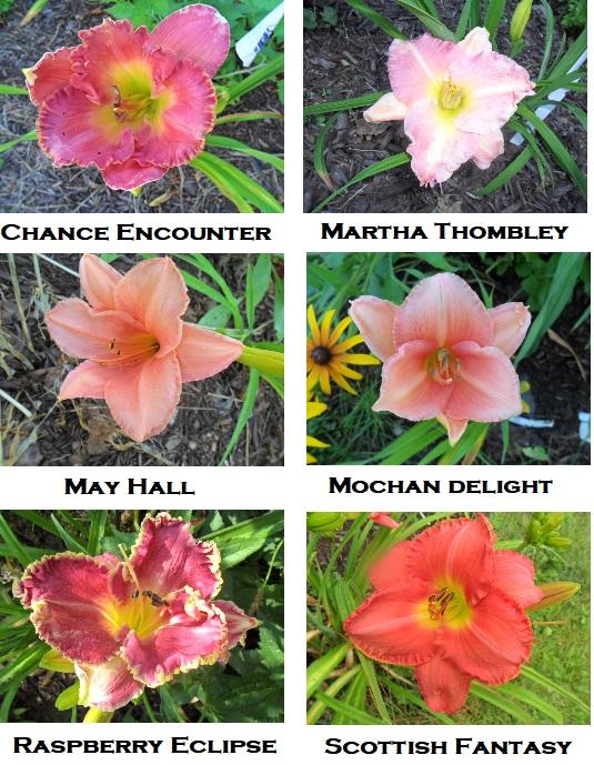 AAA pink lilies