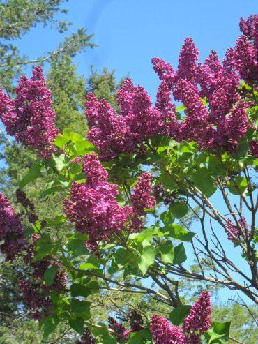 beltane burgundy lilac2
