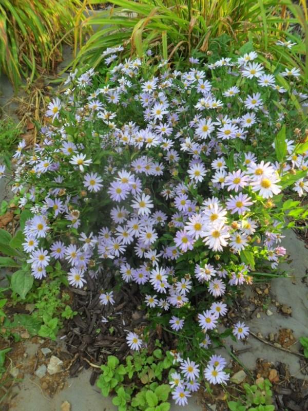 blue daisy aug2