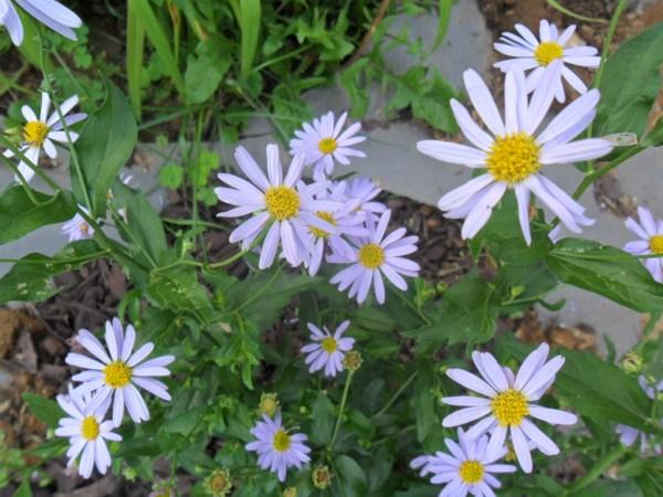 blue daisy3