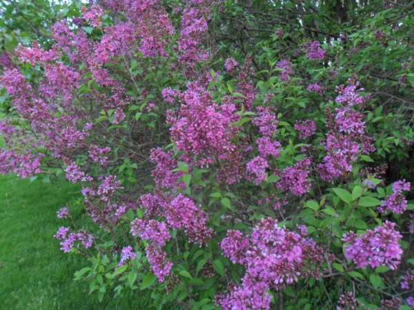 french lilac2