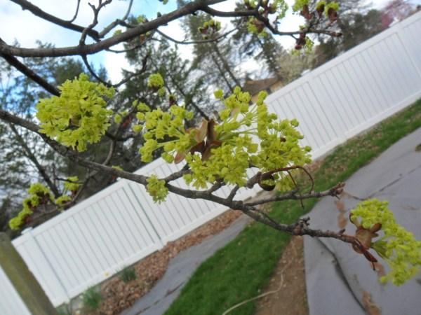 maple bloom7