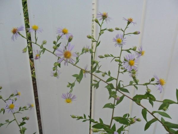 michaelmas daisy2