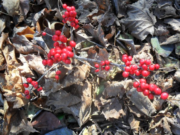 red sprite berries