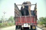 Elefante Raju 03