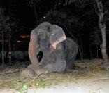 Elefante Raju 04