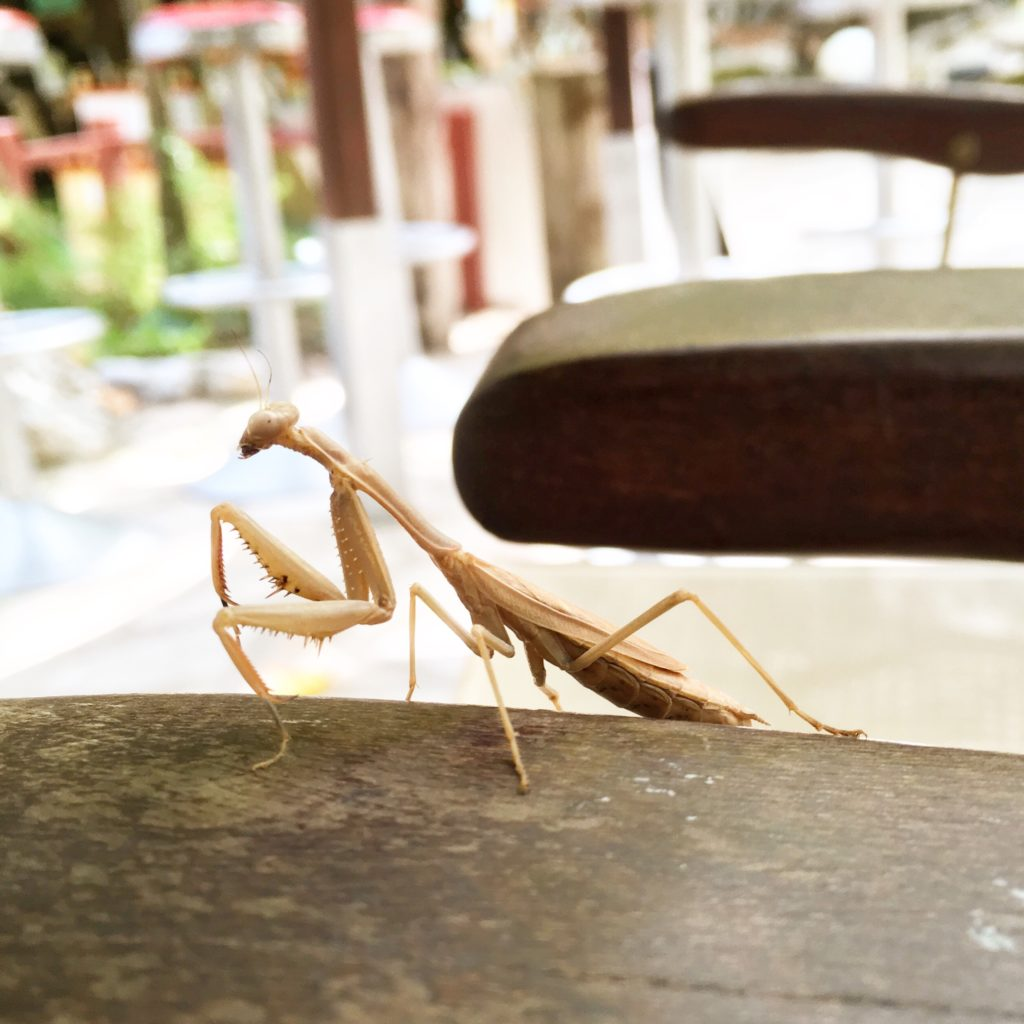 A praying mantis in Greece