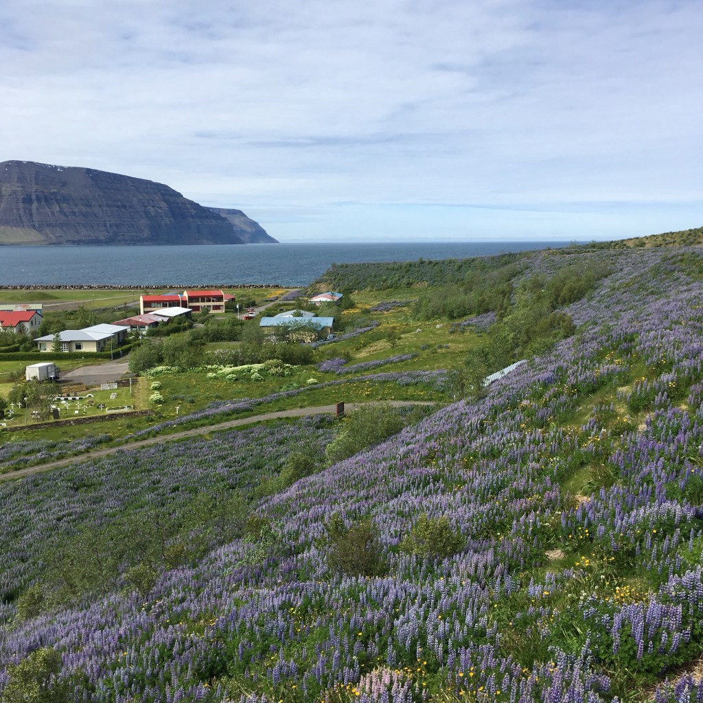 Arctic lupine flowers in the Westjords