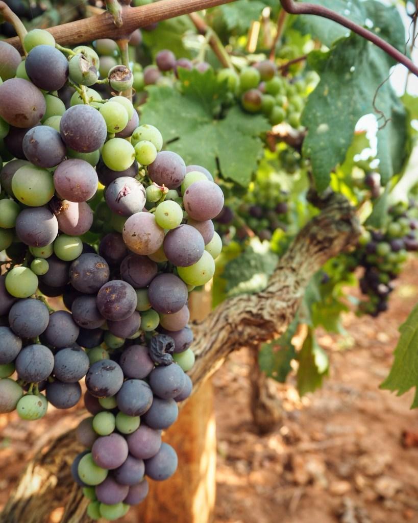 vineyards on Hvar island, Croatia