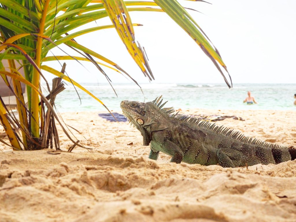 blue iguanas at st Anne guadeloupe