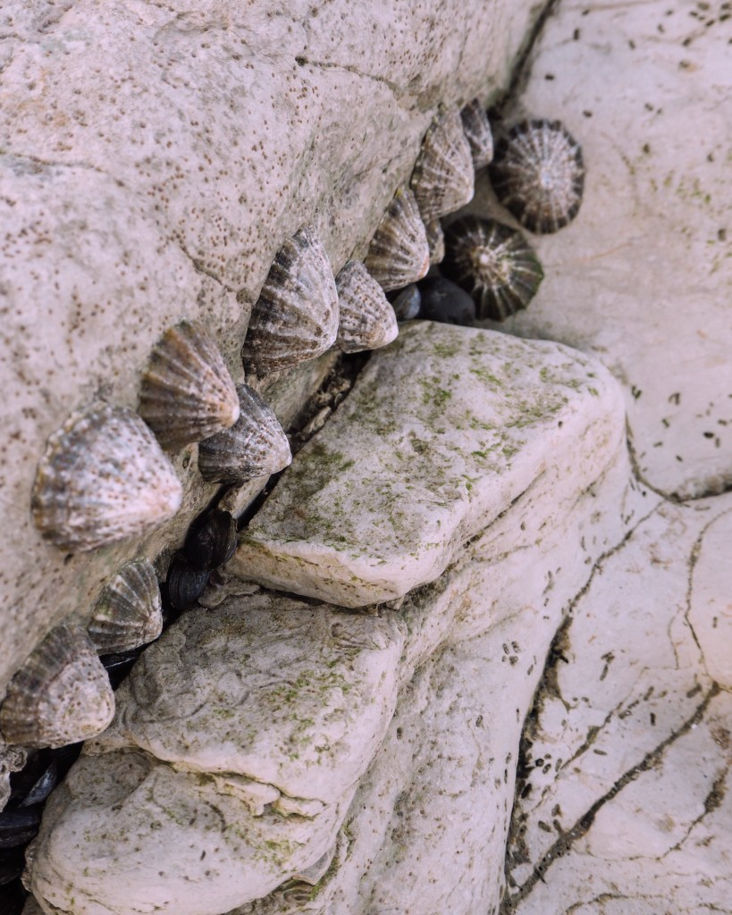 detail of limpets at Holywell Beach