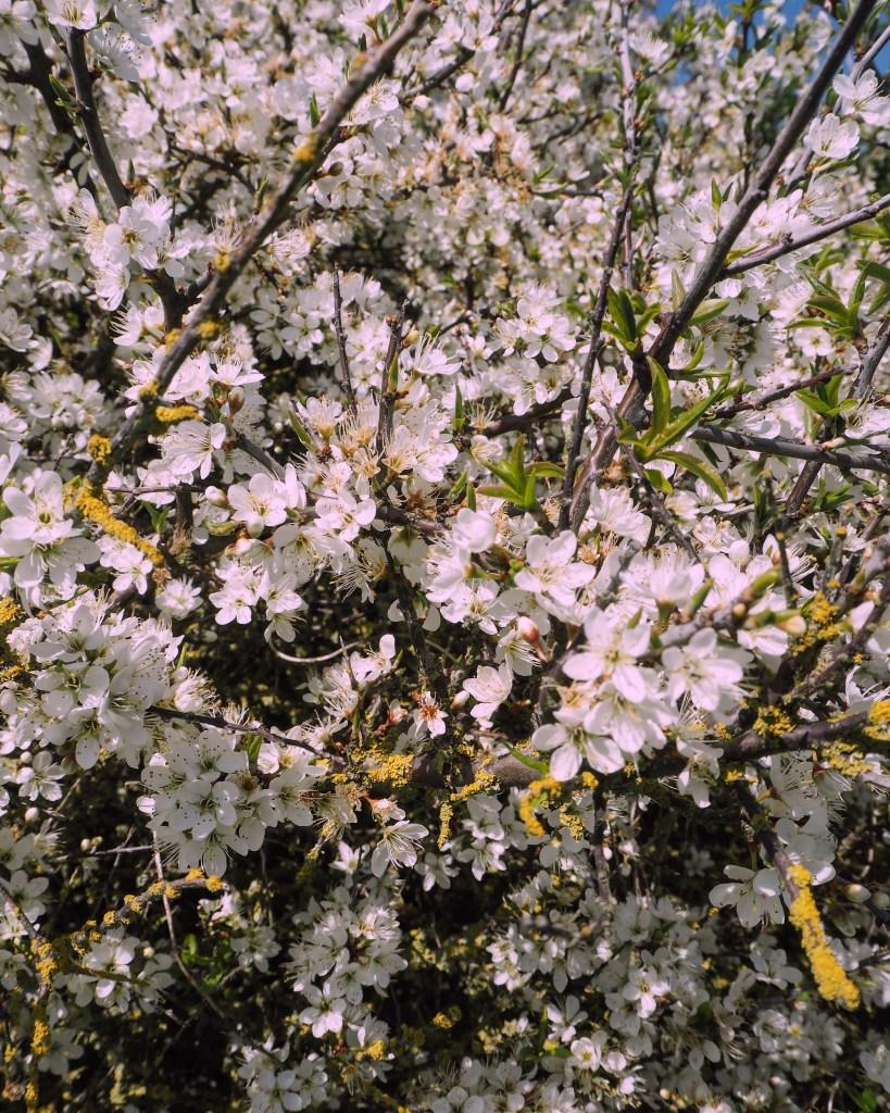 springtime blossom on the South Downs way