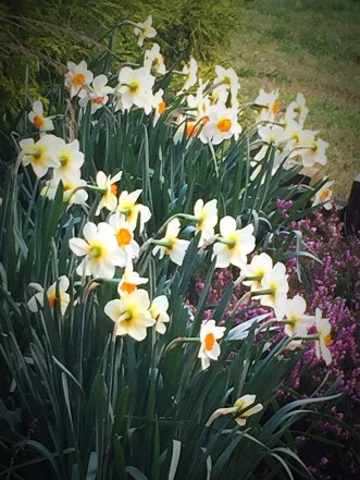 Daffodils in a garden