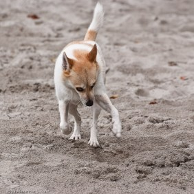 Dog running on sand