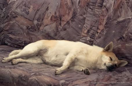 Geschafftes Hundchen pennt auf der Couch nach einer langen Bergwanderung im September 2010.