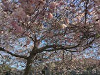 cherry tree blosson