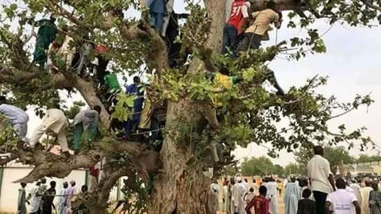 Jigawa residents climb trees to catch a glimpse of President Buhari (photos)