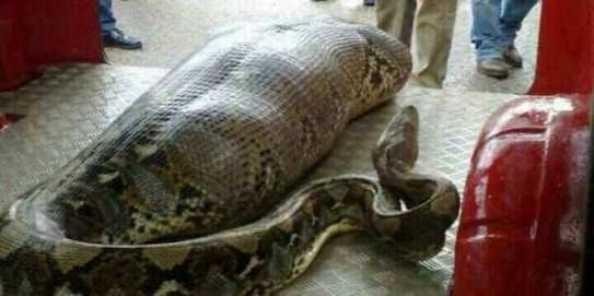 Missing woman found dead inside a python (video)