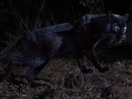 "Rare black leopard 'Black Panther"" spotted in Africa for the first time in 100 years (Photos)"