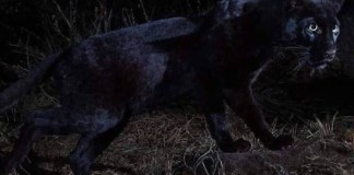 """Rare black leopard 'Black Panther"""" spotted in Africa for the first time in 100 years (Photos)"""