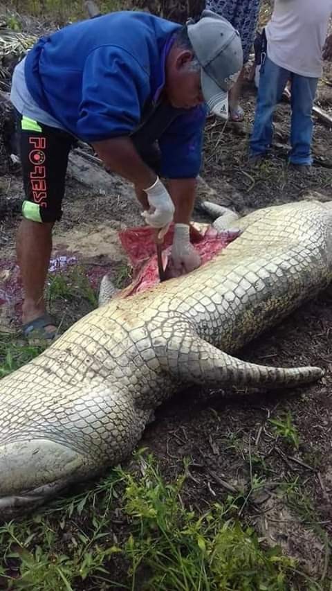 Photos: Monster crocodile that killed plantation worker caught and culled. Pieces of human bones, torn clothes found inside its stomach