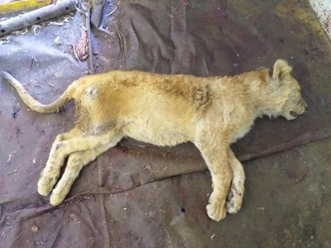 20 lions and tigers found dead in a freezer in South Africa