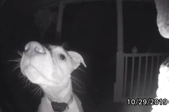 See moment a clever dog presses door bell at 2am after getting locked out (video)