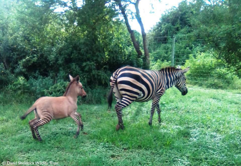 It's a Zonkey - Zebra gives birth to an unusual baby after mating with Donkey (photographs)