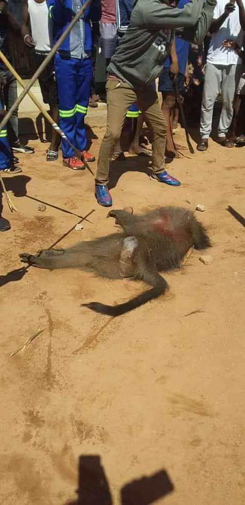COVID-19 Lockdown: Residents kill, eat baboon in South Africa (photos)