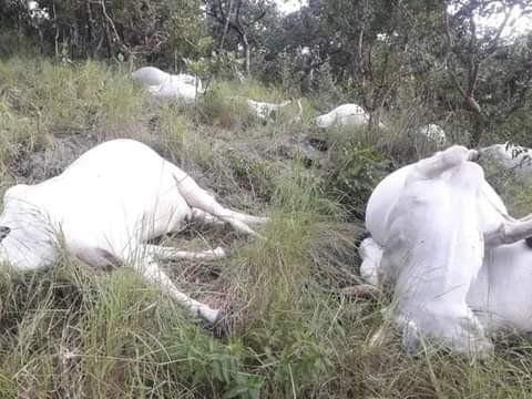 Lightning strike 15 cows to death in Ekiti (video)